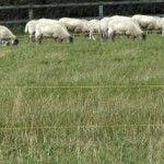 Electric Fencing for Sheep