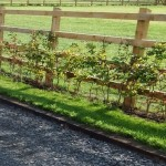 Hedgerow laying on post & rail fencing