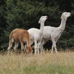 Llama & Alpaca Fencing Cheshire