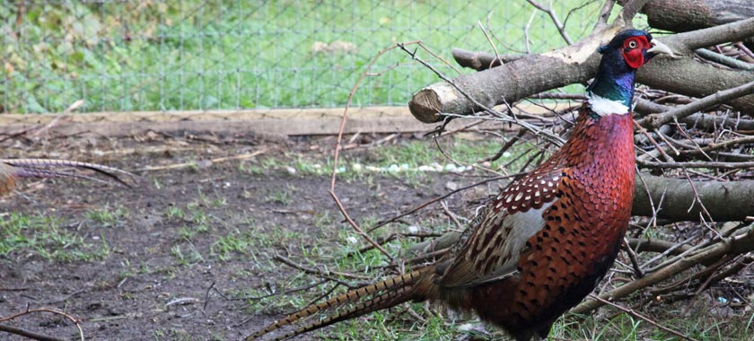 Pheasant in pheasant pen with netting wire