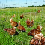 Chickens behind wire netting in field