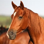 Chestnut horse close up