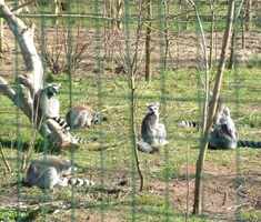 Ring tailed lemurs in zoo behind mesh fencing