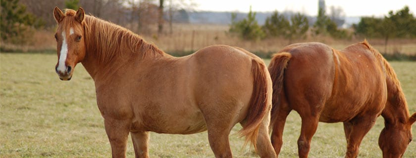 Two chestnut horses in field