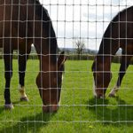 Horses in Field Behind Netting
