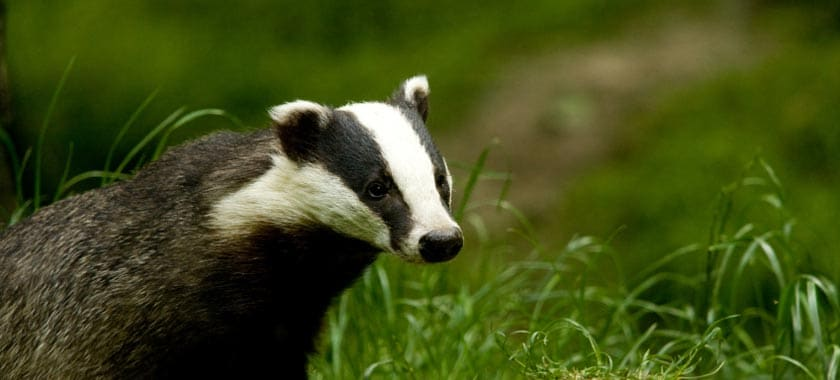 Black and white badger in field