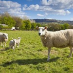 Sheep and lambs in field