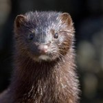 Brown mink close up