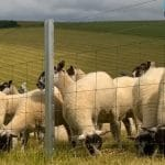 Herd of Sheep in Field Behind Metal Clipex Fencing and Netting