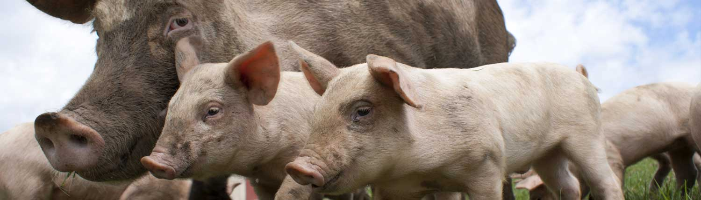 pig-fencing