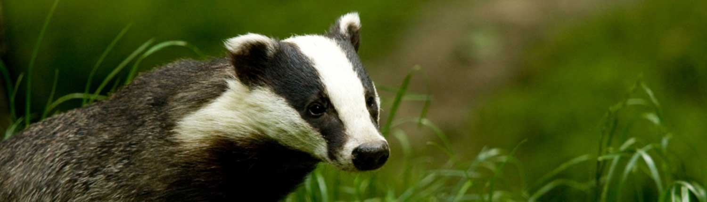 badger-fencing