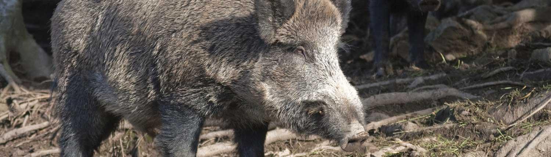 wild-boar-fencing